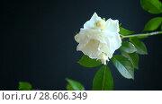 Купить «Beautiful white blooming roses», видеоролик № 28606349, снято 14 июня 2018 г. (c) Peredniankina / Фотобанк Лори