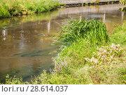 Купить «Манник большой (Glyceria maxima) на берегу реки Яузы в засуху. Москва», фото № 28614037, снято 21 августа 2010 г. (c) Алёшина Оксана / Фотобанк Лори