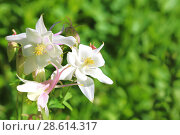 Купить «Floral background. Blooming columbine of white color on a green natural background.», фото № 28614317, снято 16 июня 2018 г. (c) Светлана Евграфова / Фотобанк Лори