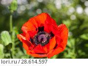 Купить «Shadow of a bee on a red poppy, Russia», фото № 28614597, снято 15 июня 2018 г. (c) Игорь Овсянников / Фотобанк Лори
