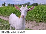 Купить «Портрет белой козы с цветами во рту», фото № 28616209, снято 21 июня 2018 г. (c) Илюхина Наталья / Фотобанк Лори