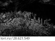 Купить «Genet (Genetta genetta) at night, infra-red image. France. June.», фото № 28621549, снято 15 августа 2018 г. (c) Nature Picture Library / Фотобанк Лори
