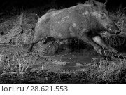 Купить «Wild boar (Sus scrofa) crossing a mud puddle at night, infra red image, France, June.», фото № 28621553, снято 15 августа 2018 г. (c) Nature Picture Library / Фотобанк Лори