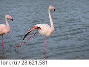 Купить «Greater flamingo (Phoenicopterus ruber) in courtship display, Camargue, France. February», фото № 28621581, снято 19 августа 2018 г. (c) Nature Picture Library / Фотобанк Лори