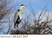 Купить «Grey heron (Ardea cinerea) on nest, Camargue, France. February», фото № 28621597, снято 22 августа 2018 г. (c) Nature Picture Library / Фотобанк Лори