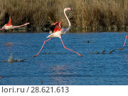 Купить «Greater flamingo (Phoenicopterus ruber) running on water surface, Camargue, France. February», фото № 28621613, снято 19 августа 2018 г. (c) Nature Picture Library / Фотобанк Лори