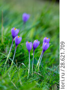 Купить «Crocus (Crocus sp) flowers, Miera Valley, Valles Pasiegos, Cantabria, Spain.», фото № 28621709, снято 18 июля 2018 г. (c) Nature Picture Library / Фотобанк Лори