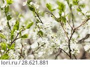 Купить «Цветущая слива», фото № 28621881, снято 5 мая 2018 г. (c) Evgenia Shevardina / Фотобанк Лори