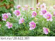Купить «Пион травянистый. Цветение в начале лета», фото № 28622381, снято 17 июня 2018 г. (c) Наталья Осипова / Фотобанк Лори