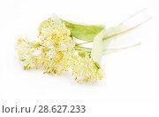 Купить «Цветы липы на белом фоне», эксклюзивное фото № 28627233, снято 22 июня 2018 г. (c) Dmitry29 / Фотобанк Лори