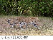 Купить «Leopard (Panthera pardus) female Masai Mara National Reserve, Kenya.», фото № 28630481, снято 18 октября 2019 г. (c) Nature Picture Library / Фотобанк Лори