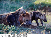 Купить «Spotted hyena (Crocuta crocuta) resting with pups, Masai Mara National Reserve, Kenya.», фото № 28630485, снято 24 июня 2019 г. (c) Nature Picture Library / Фотобанк Лори