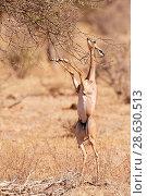 Купить «Gerenuk (Litocranius walleri) female  standing on hindlimbs to feed on leaves, Samburu National Reserve, Kenya.», фото № 28630513, снято 22 июля 2019 г. (c) Nature Picture Library / Фотобанк Лори