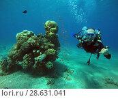 Купить «Дайвер плавает под водой рядом с коралловым рифом в Красном море», фото № 28631041, снято 15 сентября 2017 г. (c) Irina Opachevsky / Фотобанк Лори
