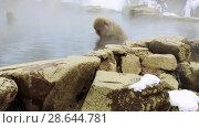 Купить «japanese macaques or snow monkeys in hot spring», видеоролик № 28644781, снято 18 июня 2018 г. (c) Syda Productions / Фотобанк Лори