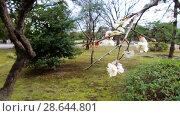 Купить «close up of beautiful sakura tree blossoms at park», видеоролик № 28644801, снято 18 июня 2018 г. (c) Syda Productions / Фотобанк Лори