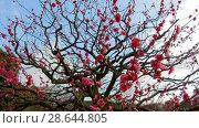 Купить «close up of beautiful sakura tree blossoms at park», видеоролик № 28644805, снято 18 июня 2018 г. (c) Syda Productions / Фотобанк Лори