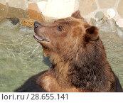 Купить «Бурый медведь крупным планом. Зоопарк. Город Москва», эксклюзивное фото № 28655141, снято 7 мая 2016 г. (c) lana1501 / Фотобанк Лори