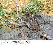 Купить «Полосатый мангуст на дереве в вольере Московского зоопарка», эксклюзивное фото № 28655153, снято 7 мая 2016 г. (c) lana1501 / Фотобанк Лори