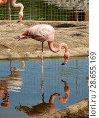 Купить «Розовые фламинго с опущенными головами в Московском зоопарке», эксклюзивное фото № 28655169, снято 7 мая 2016 г. (c) lana1501 / Фотобанк Лори