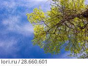 Купить «Crown poplar with fresh young foliage», фото № 28660601, снято 18 декабря 2018 г. (c) Любовь Назарова / Фотобанк Лори