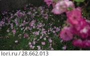 Купить «Flowering bushes in the rose garden, Botanical garden», видеоролик № 28662013, снято 7 июня 2018 г. (c) Ирина Мойсеева / Фотобанк Лори