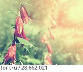 Купить «Колокольчики в лесу», фото № 28662021, снято 18 июля 2015 г. (c) Икан Леонид / Фотобанк Лори
