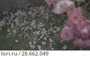 Купить «Flowering bushes in the rose garden, Botanical garden near greenhouse», видеоролик № 28662049, снято 7 июня 2018 г. (c) Ирина Мойсеева / Фотобанк Лори