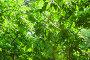 Купить «Ясень в лучах солнца после дождя», фото № 28663197, снято 23 июня 2018 г. (c) Алёшина Оксана / Фотобанк Лори
