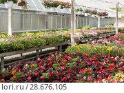 Купить «Flowering plants in hothouse», фото № 28676105, снято 19 апреля 2018 г. (c) Яков Филимонов / Фотобанк Лори