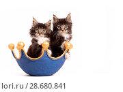 Купить «Maine Coon Kitten», фото № 28680841, снято 14 июня 2018 г. (c) age Fotostock / Фотобанк Лори