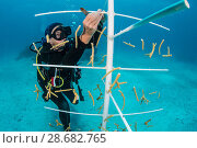 Купить «Diver attaching coral fragments (Acropora cervicornis) to a coral propagation tree. East End, Grand Cayman, Cayman Islands, British West Indies. Caribbean Sea.», фото № 28682765, снято 18 сентября 2018 г. (c) Nature Picture Library / Фотобанк Лори