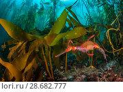 Купить «Weedy seadragon (Phyllopteryx taeniolatus) male carries eggs through a kelp forest (Macrocystis pyrifera) in Tasmania, Australia. Tasmania is the only...», фото № 28682777, снято 18 сентября 2018 г. (c) Nature Picture Library / Фотобанк Лори