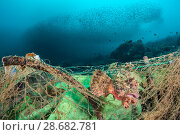 Купить «Poss's scorpionfish (Scorpaenopsis possi) is trapped in a discarded fishing net, which has continued ghost fishing and is still killing fish. The photographer...», фото № 28682781, снято 15 августа 2018 г. (c) Nature Picture Library / Фотобанк Лори