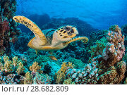 Купить «RF - Hawksbill sea turtle (Eretmochelys imbricata) swimming over a coral reef. Whilst a Predatory bandcheek wrasse (Oxycheilinus digrammus) is hiding underneath...», фото № 28682809, снято 31 мая 2020 г. (c) Nature Picture Library / Фотобанк Лори