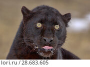 Купить «Black panther / melanistic Leopard (Panthera pardus) portrait, licking muzzle, captive.», фото № 28683605, снято 17 июля 2018 г. (c) Nature Picture Library / Фотобанк Лори