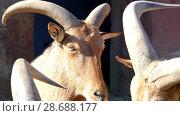Купить «Barbary sheep (Ammotragus lervia)», видеоролик № 28688177, снято 28 апреля 2017 г. (c) BestPhotoStudio / Фотобанк Лори