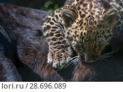 Купить «Black panther / melanistic Leopard (Panthera pardus) female with normal spotted cub suckling, captive.», фото № 28696089, снято 18 сентября 2018 г. (c) Nature Picture Library / Фотобанк Лори