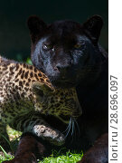 Купить «Black panther / melanistic Leopard (Panthera pardus) female with normal spotted cub, captive.», фото № 28696097, снято 18 сентября 2018 г. (c) Nature Picture Library / Фотобанк Лори