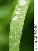 Купить «Droplets on wheat leaf.», фото № 28700681, снято 8 мая 2018 г. (c) easy Fotostock / Фотобанк Лори