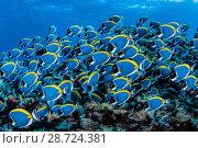 Купить «Powder blue surgeonfish (Acanthurus leucosternon) Denis island, Seychelles, Indian Ocean», фото № 28724381, снято 15 августа 2018 г. (c) Nature Picture Library / Фотобанк Лори