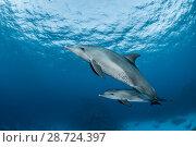 Купить «Indo-Pacific bottlenose dolphins (Tursiops aduncus)  Safaga, Egypt. Red Sea.», фото № 28724397, снято 25 сентября 2018 г. (c) Nature Picture Library / Фотобанк Лори