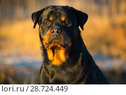 Rottweiler, male head portrait, on shore of Long Island Sound, Connecticut, USA. Стоковое фото, фотограф Lynn M. Stone / Nature Picture Library / Фотобанк Лори