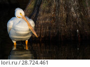 Купить «American white pelican (Pelecanus erythrorhynchos) at base of Bald Cypress trees along lakeshore, Lakeland, Florida, USA.», фото № 28724461, снято 22 июля 2018 г. (c) Nature Picture Library / Фотобанк Лори