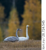 Купить «Whooper swan (Cygnus cygnus), adult and juvenile, Finland, October.», фото № 28724545, снято 20 сентября 2018 г. (c) Nature Picture Library / Фотобанк Лори