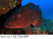 Купить «Black grouper (Mycteroperca bonaci),Jardines de la Reina / Gardens of the Queen National Park, Caribbean Sea, Ciego de Avila, Cuba, January», фото № 28724689, снято 15 августа 2018 г. (c) Nature Picture Library / Фотобанк Лори