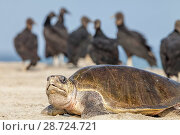 Купить «Olive ridley sea turtle (Lepidochelys olivacea) arriving to nest, with American Black Vulture (Coragyps atratus) waiting, Arribada (mass nesting event...», фото № 28724721, снято 17 августа 2018 г. (c) Nature Picture Library / Фотобанк Лори