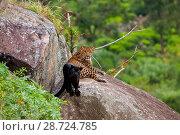 Купить «Adult Leopard (Panthera pardus)  with its melanistic / black panther  cub resting on rocks,  Tamil Nadu, Western Ghats,  India.», фото № 28724785, снято 20 июля 2018 г. (c) Nature Picture Library / Фотобанк Лори