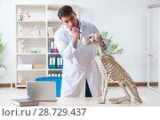 Купить «Doctor vet practicing on dog skeleton», фото № 28729437, снято 23 марта 2018 г. (c) Elnur / Фотобанк Лори