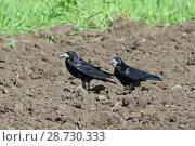 Купить «Грач (лат. Corvus frugilegus). Две птицы шагают по пахоте, Алтайский край», фото № 28730333, снято 5 июня 2018 г. (c) Григорий Писоцкий / Фотобанк Лори